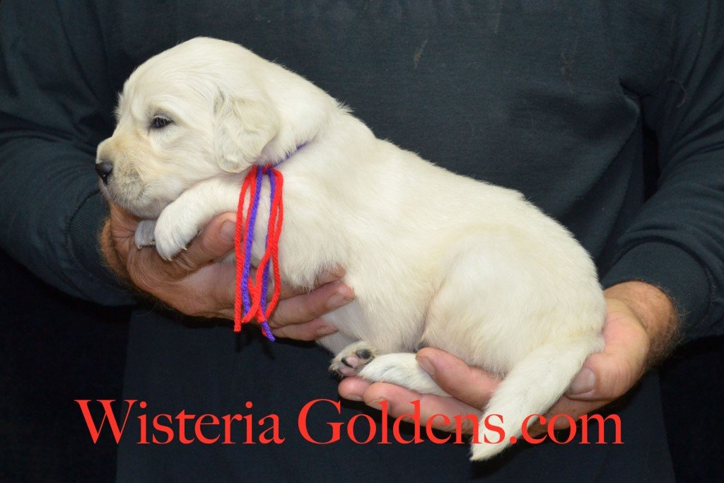 Red Boy - 4.4 lbs Holly Litter born 6-12-2015 English Cream Golden Retriever puppies for sale. 3 weeks pictures.