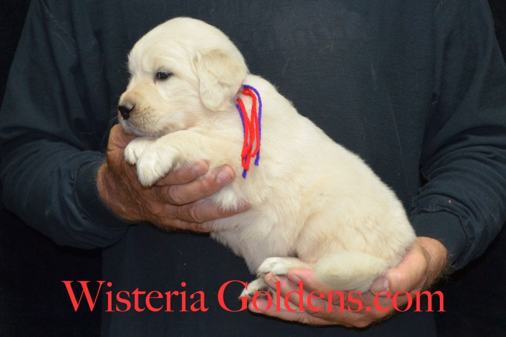 Red Boy - 5.6 lbs Holly and Thor litter born 6-12-2015 English Cream Golden Retriever puppies for sale