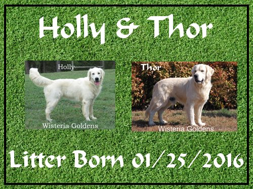 Holly Litter: Holly/Thor Litter Born 01/25/2016 4 girls and 2 boys. Ready for their new homes on 3/21/16. Currently we have 3rd pick female and all males are spoken for.