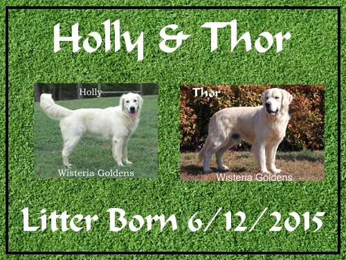 Holly and Thor litter born 6-12-2015