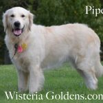 Routine Combing for Dogs -- Piper Wisteria Goldens