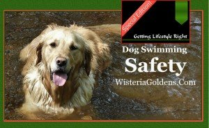 dog swimming safety wisteria goldens