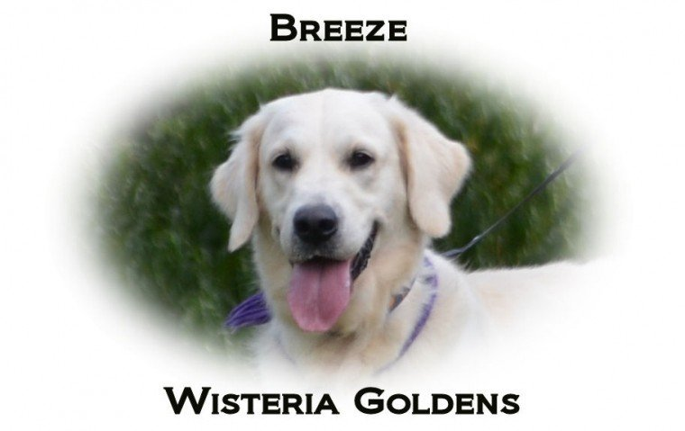 Breeze English Cream Golden Retriever