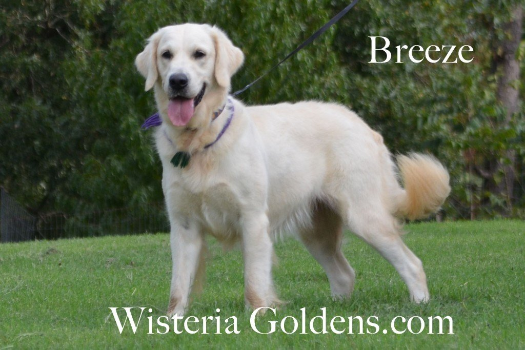 English Cream Golden Retriver Wisteria Tropical Breeze