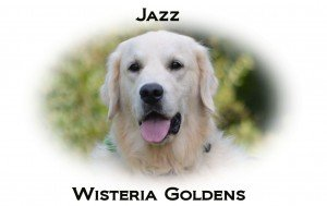 Jazz Faith/Thor (retiring) English Cream Golden Retriever Adult Dog for Adoption Wisteria Goldens