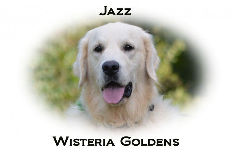 Jazz English Cream Golden Retriever