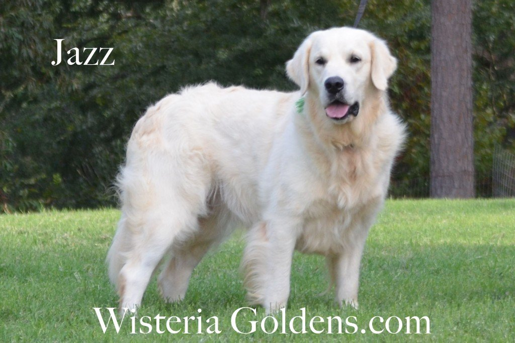 Jazz Full English Cream Golden Retriever Wisteria Goldens Girl