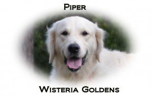 Piper (Retiring) Faith/Thor English Cream Golden Retriever Adult Dog for Adoption Wisteria Goldens