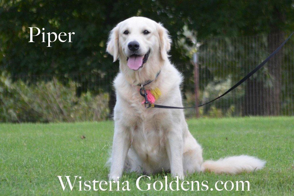 Piper - Full English Cream - Wisteria Goldens