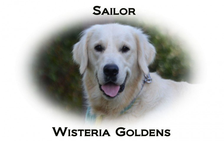 Sailor English Cream Golden Retriever