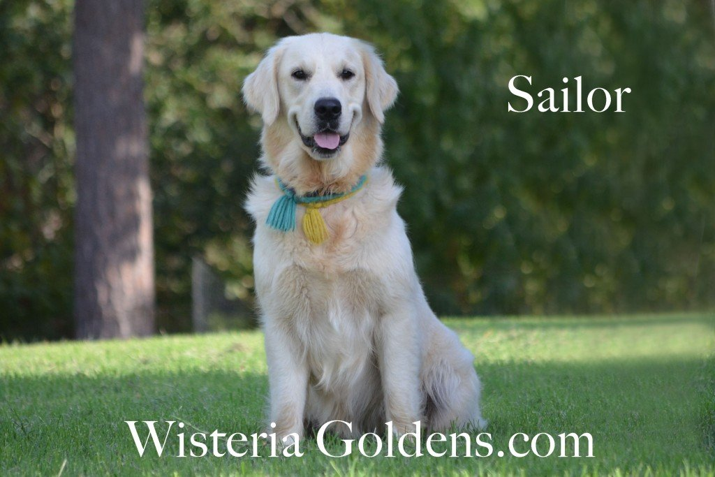 English Cream Golden Retriver Wisteria Ocean Sailor