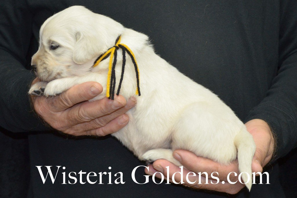 Breeze Litter Black Boy - 4.0 lbs Born 10/29/2015 Breeze/Ego 2 girls and 7 boys. Ready for new homes 12/24/2015 Wisteria Goldens English Cream Golden Retriever puppies for sale
