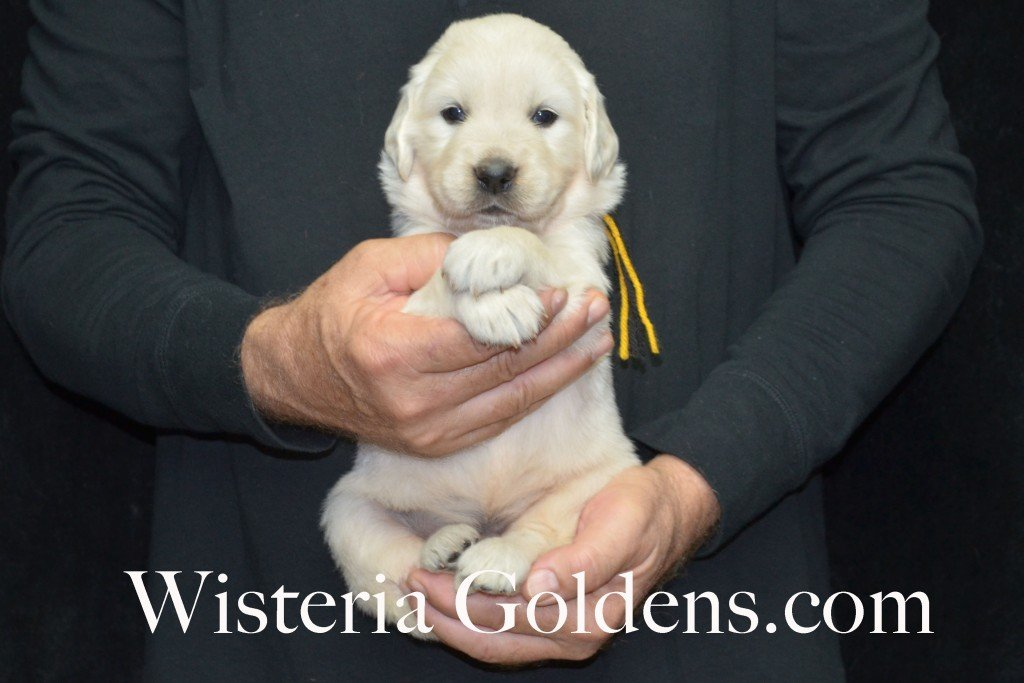 Breeze Litter 4 Weeks Black Boy - 5.2 lbs Breeze/Ego – Litter Born 10/29/2015 2 girls and 7 boys. Wisteria Goldens focuses on raising quality and healthy English Golden Retrievers.