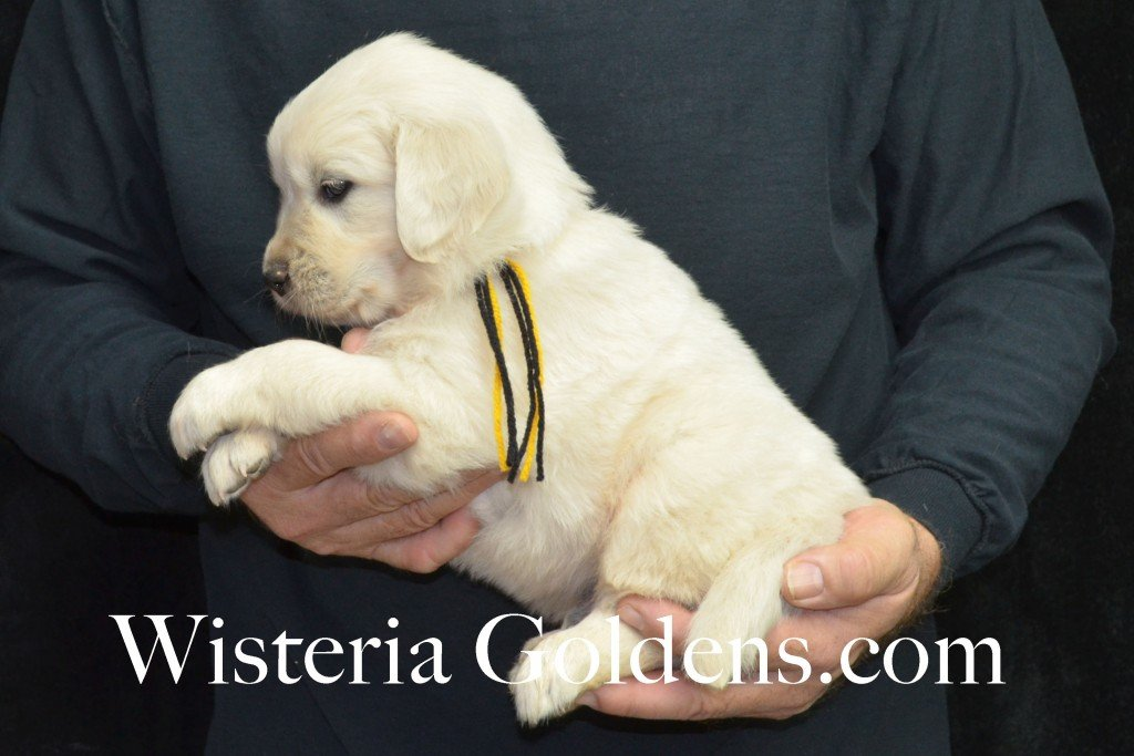 Breeze Litter Black Boy - 6.0 lbs 5 Weeks pictures Breeze/Ego Litter Born 10/29/2015 2 girls and 7 boys. English Cream Golden Retriever puppies for sale at wisteriagoldens.com