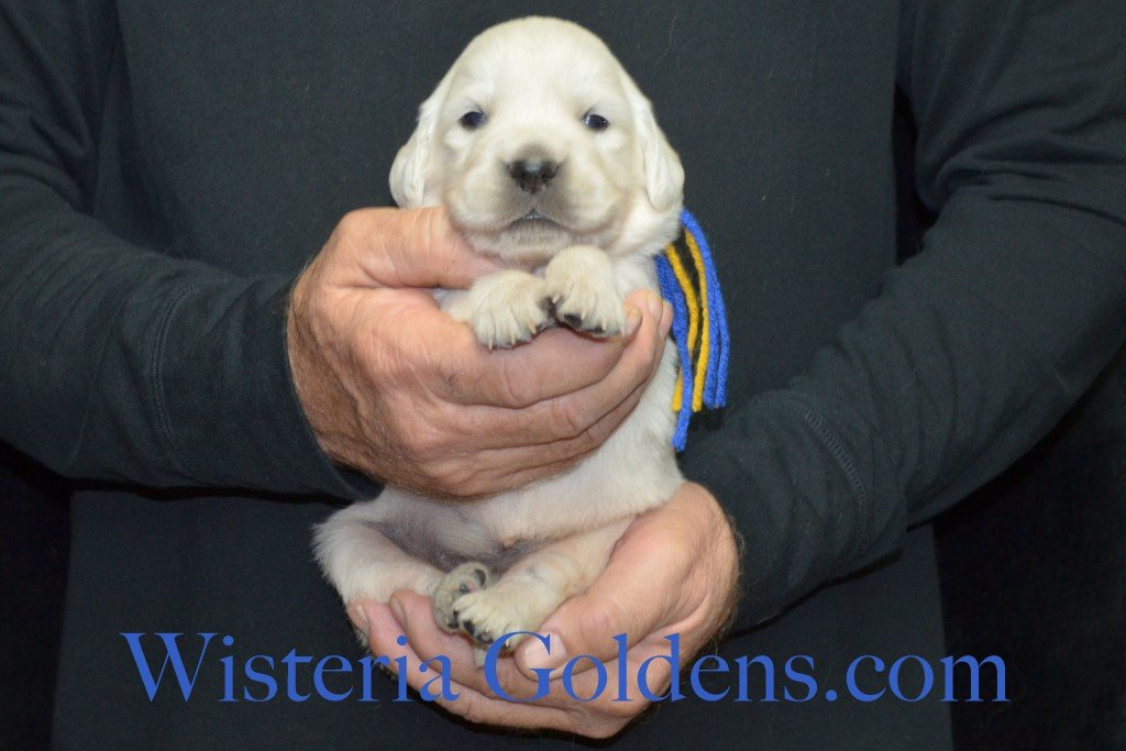 Breeze Litter Blue Boy - 3.2 lbs Born 10/29/2015 Breeze/Ego 2 girls and 7 boys. Ready for new homes 12/24/2015 Wisteria Goldens English Cream Golden Retriever puppies for sale