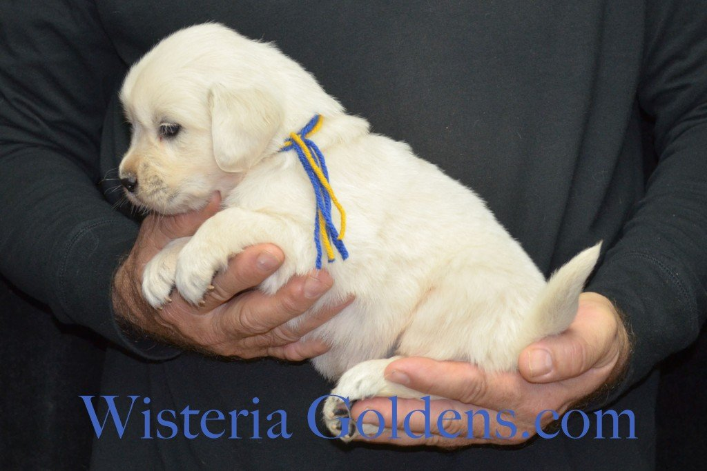 Breeze Litter 4 Weeks Blue Boy - 4.2 lbs Breeze/Ego – Litter Born 10/29/2015 2 girls and 7 boys. Wisteria Goldens focuses on raising quality and healthy English Golden Retrievers.