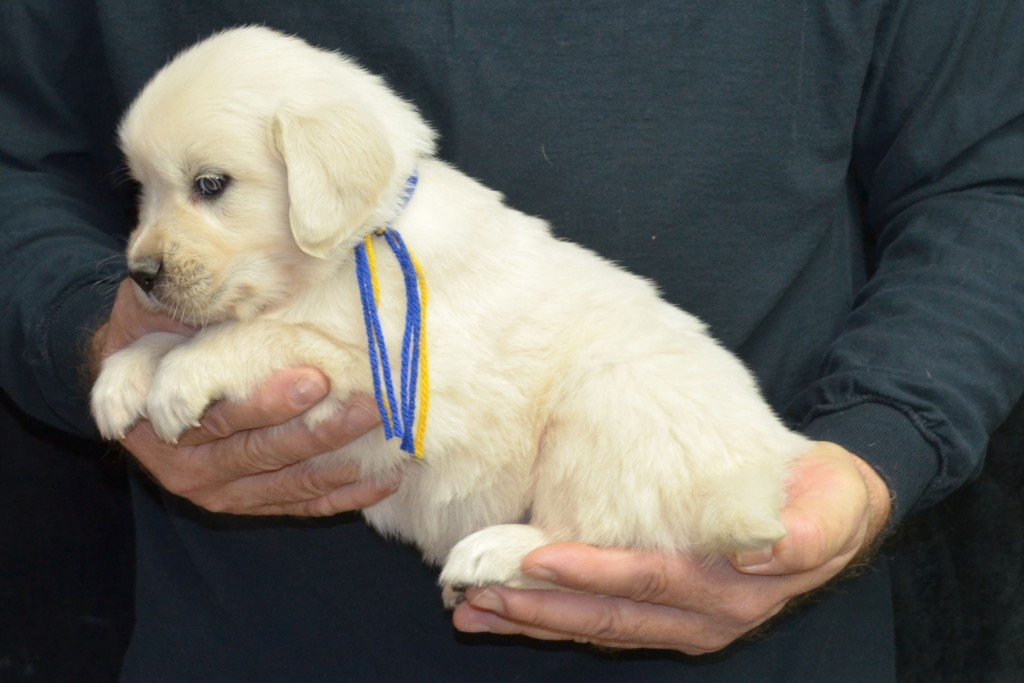 Breeze Litter Blue Boy - 5.4 lbs 5 Weeks pictures Breeze/Ego Litter Born 10/29/2015 2 girls and 7 boys. English Cream Golden Retriever puppies for sale at wisteriagoldens.com