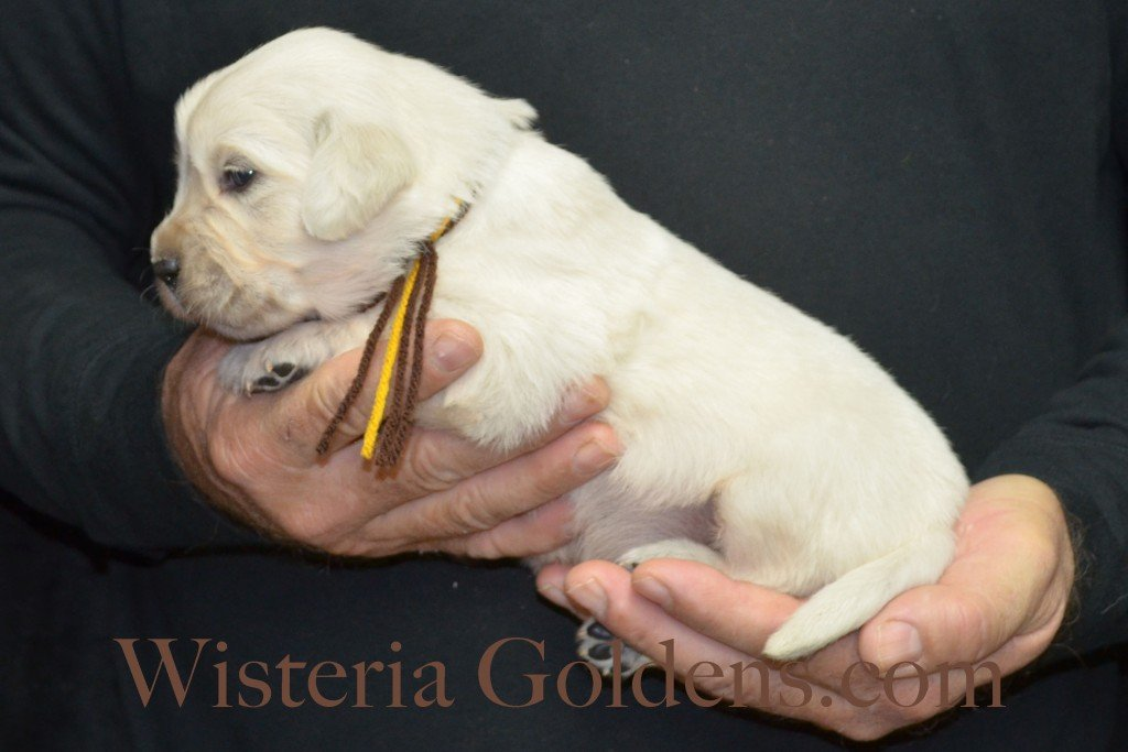 Breeze Litter Brown Boy - 3.6 lbs Born 10/29/2015 Breeze/Ego 2 girls and 7 boys. Ready for new homes 12/24/2015 Wisteria Goldens English Cream Golden Retriever puppies for sale