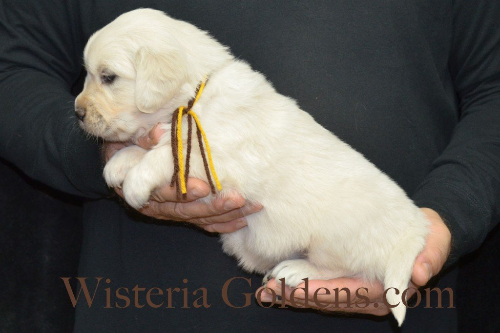 Breeze Litter 4 Weeks Brown Boy - 4.8 lbs Breeze/Ego – Litter Born 10/29/2015 2 girls and 7 boys. Wisteria Goldens focuses on raising quality and healthy English Golden Retrievers.