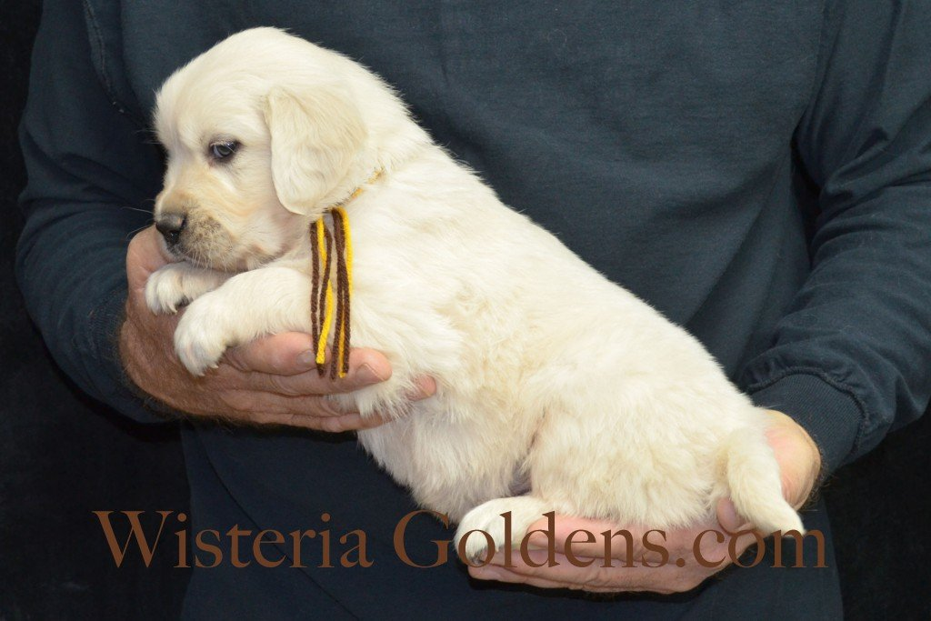 Breeze Litter Brown Boy - 5.8 lbs 5 Weeks pictures Breeze/Ego Litter Born 10/29/2015 2 girls and 7 boys. English Cream Golden Retriever puppies for sale at wisteriagoldens.com