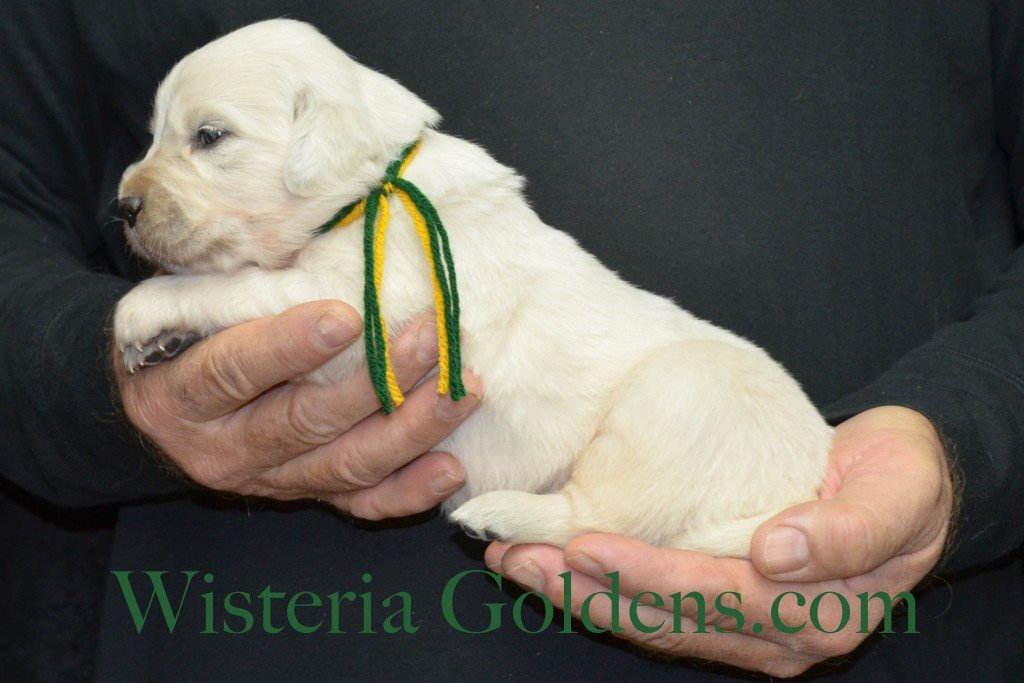 Breeze Litter Green Boy - 2.8 lbs Born 10/29/2015 Breeze/Ego 2 girls and 7 boys. Ready for new homes 12/24/2015 Wisteria Goldens English Cream Golden Retriever puppies for sale
