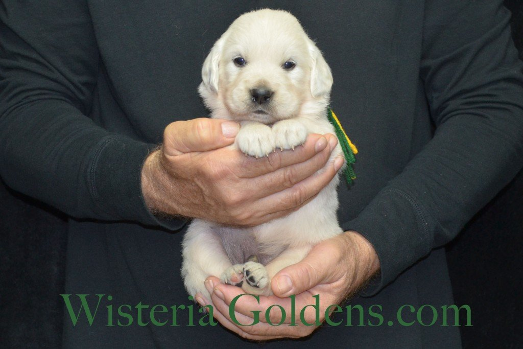 Breeze Litter 4 Weeks Green Boy - 4.0 lbs Breeze/Ego – Litter Born 10/29/2015 2 girls and 7 boys. Wisteria Goldens focuses on raising quality and healthy English Golden Retrievers.