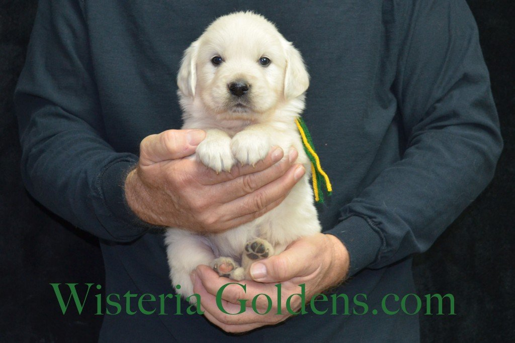 Breeze Litter Green Boy - 4.8 lbs 5 Weeks pictures Breeze/Ego Litter Born 10/29/2015 2 girls and 7 boys. English Cream Golden Retriever puppies for sale at wisteriagoldens.com
