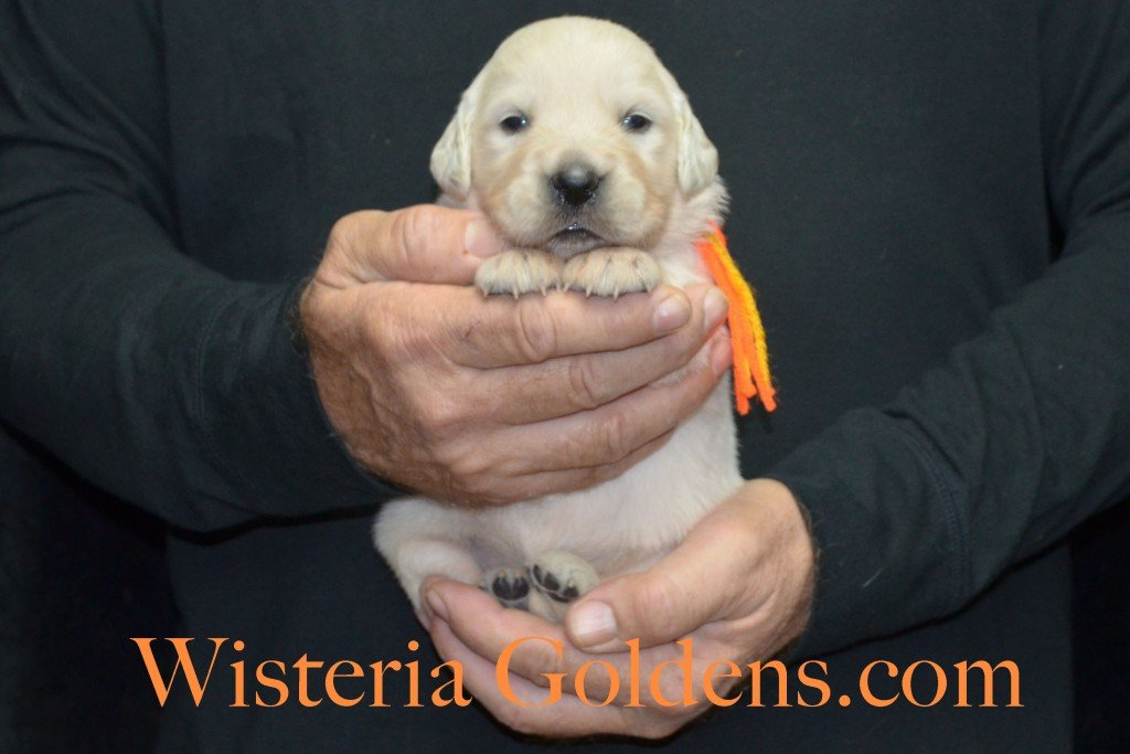 Breeze Litter Orange Boy - 3.0 lbs Born 10/29/2015 Breeze/Ego 2 girls and 7 boys. Ready for new homes 12/24/2015 Wisteria Goldens English Cream Golden Retriever puppies for sale