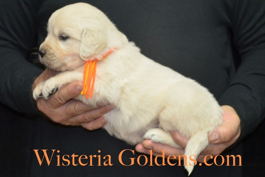 Breeze Litter 4 Weeks Orange Boy - 4.2 lbs Breeze/Ego – Litter Born 10/29/2015 2 girls and 7 boys. Wisteria Goldens focuses on raising quality and healthy English Golden Retrievers.