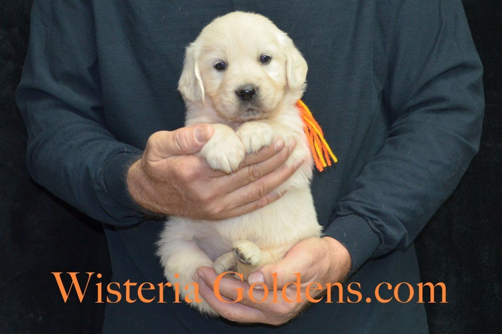 Breeze Litter Orange Boy - 5.8 lbs 5 Weeks pictures Breeze/Ego Litter Born 10/29/2015 2 girls and 7 boys. English Cream Golden Retriever puppies for sale at wisteriagoldens.com