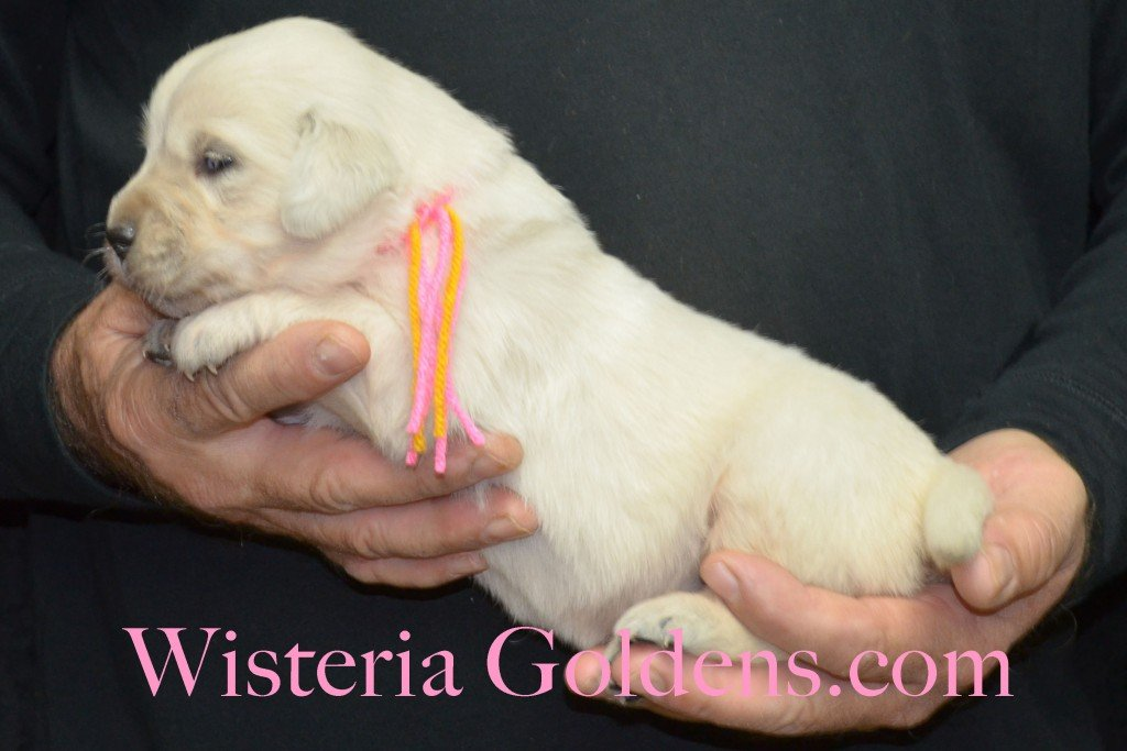 Breeze Litter Pink Girl - 3.6 lbs Born 10/29/2015 Breeze/Ego 2 girls and 7 boys. Ready for new homes 12/24/2015 Wisteria Goldens English Cream Golden Retriever puppies for sale