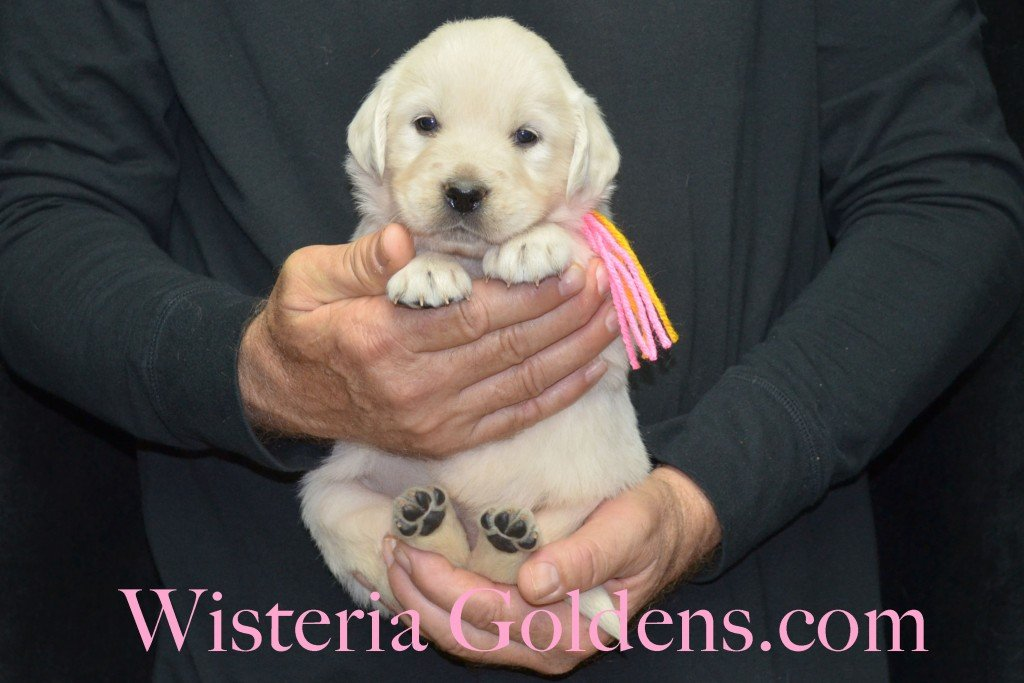Breeze Litter 4 Weeks Pink Girl - 4.8 lbs Breeze/Ego – Litter Born 10/29/2015 2 girls and 7 boys. Wisteria Goldens focuses on raising quality and healthy English Golden Retrievers.