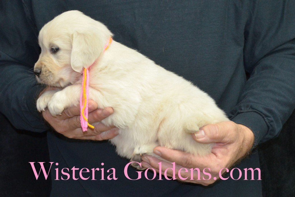 Breeze Litter Pink Girl - 5.8 lbs 5 Weeks pictures Breeze/Ego Litter Born 10/29/2015 2 girls and 7 boys. English Cream Golden Retriever puppies for sale at wisteriagoldens.com