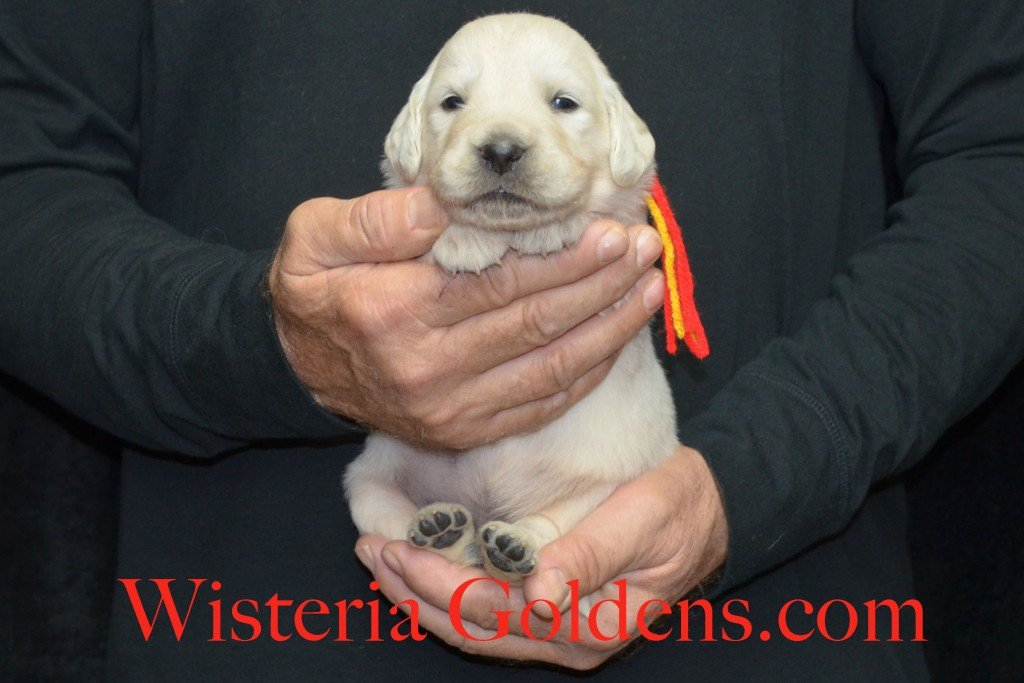 Breeze Litter Red Boy - 3.6 lbs Born 10/29/2015 Breeze/Ego 2 girls and 7 boys. Ready for new homes 12/24/2015 Wisteria Goldens English Cream Golden Retriever puppies for sale