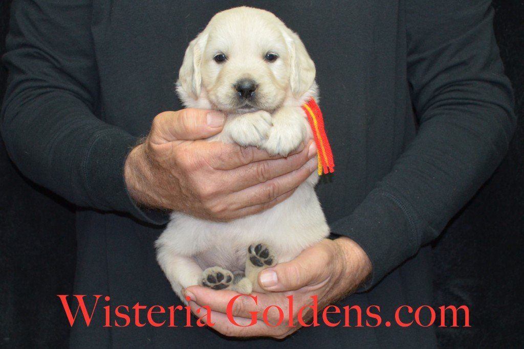 Breeze Litter 4 Weeks Red Boy - 5.2 lbs Breeze/Ego – Litter Born 10/29/2015 2 girls and 7 boys. Wisteria Goldens focuses on raising quality and healthy English Golden Retrievers.