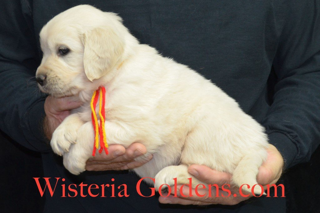 Breeze Litter Red Boy - 6.4 lbs 5 Weeks pictures Breeze/Ego Litter Born 10/29/2015 2 girls and 7 boys. English Cream Golden Retriever puppies for sale at wisteriagoldens.com