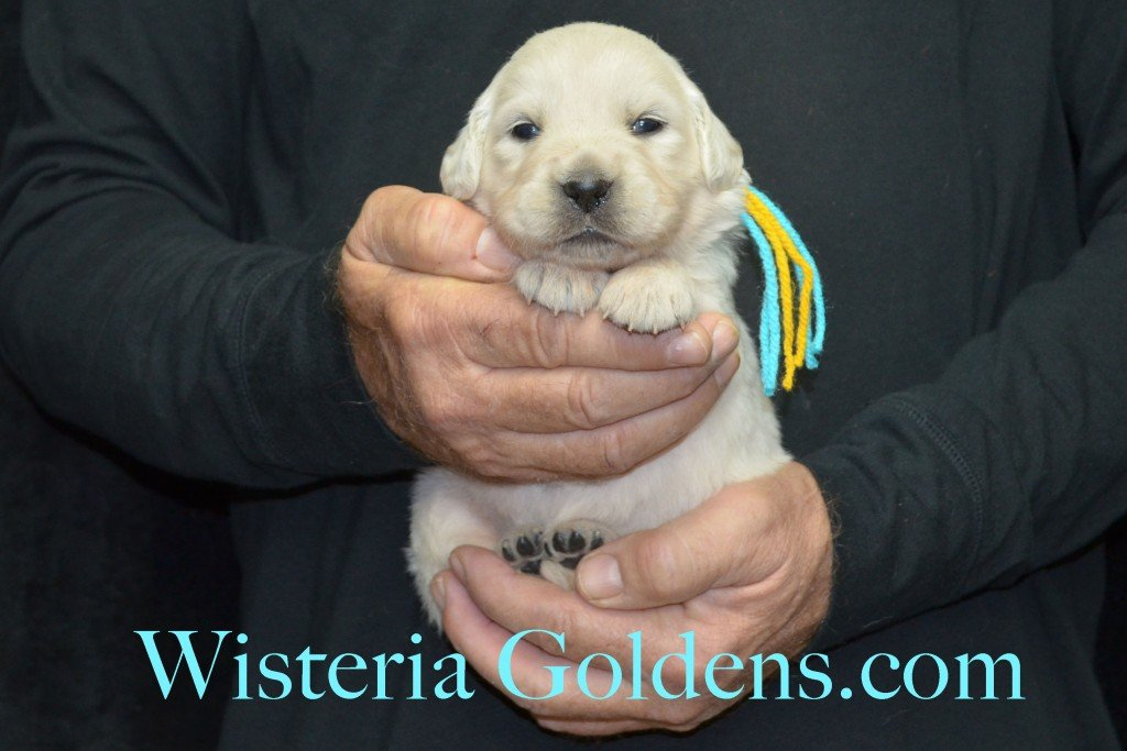 Breeze Litter Teal Girl - 3.2 lbs Born 10/29/2015 Breeze/Ego 2 girls and 7 boys. Ready for new homes 12/24/2015 Wisteria Goldens English Cream Golden Retriever puppies for sale