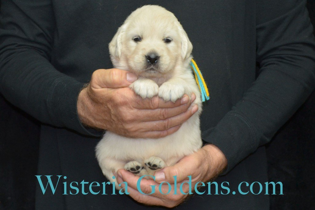 Breeze Litter 4 Weeks Teal Girl - 4.8 lbs Breeze/Ego – Litter Born 10/29/2015 2 girls and 7 boys. Wisteria Goldens focuses on raising quality and healthy English Golden Retrievers.