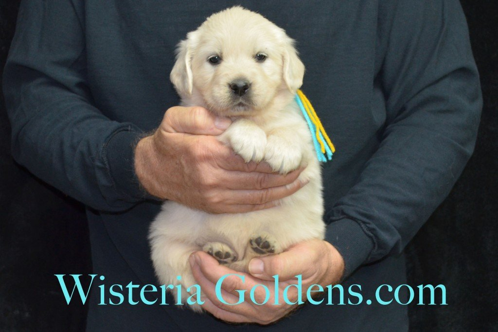 Breeze Litter Teal Girl - 5.8 lbs 5 Weeks pictures Breeze/Ego Litter Born 10/29/2015 2 girls and 7 boys. English Cream Golden Retriever puppies for sale at wisteriagoldens.com