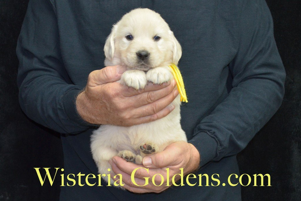 Breeze Litter Yellow Boy - 5.6 lbs 5 Weeks pictures Breeze/Ego Litter Born 10/29/2015 2 girls and 7 boys. English Cream Golden Retriever puppies for sale at wisteriagoldens.com