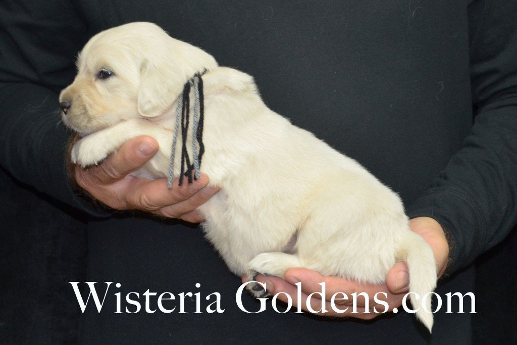 Halo Litter Black Boy - 4.2 lbs Halo-Ego Litter Born 10/26/2015 3 girls and 8 boys 3 Weeks Pictures WisteriaGoldens.com English Cream Golden Retriever puppies and their availability