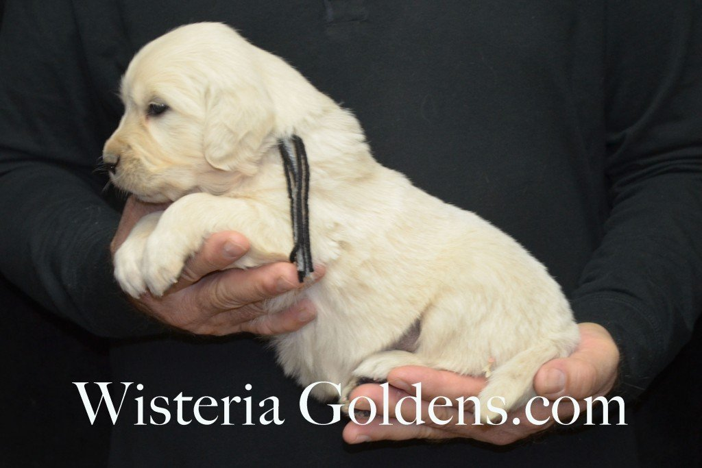 Halo Litter Black Boy - 5.6 lbs - 4 Weeks pictures Halo-Ego Litter born 10/26/2015 English Cream Golden Retriever Puppies for sale at WisteriaGoldens.Com