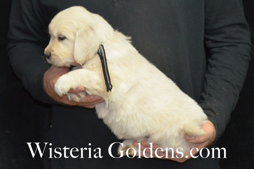 Halo LItter Black Boy - 7.0 lbs 5 Week pictures Halo/Ego Litter born 10/26/2015 3 girls and 8 boys English Cream Golden Retriever Puppies for sale at WisteriaGoldens.Com