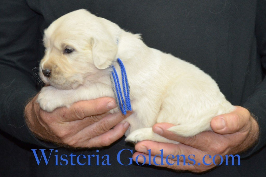 Halo Litter Blue Boy - 4.6 lbs Halo-Ego Litter Born 10/26/2015 3 girls and 8 boys 3 Weeks Pictures WisteriaGoldens.com English Cream Golden Retriever puppies and their availability