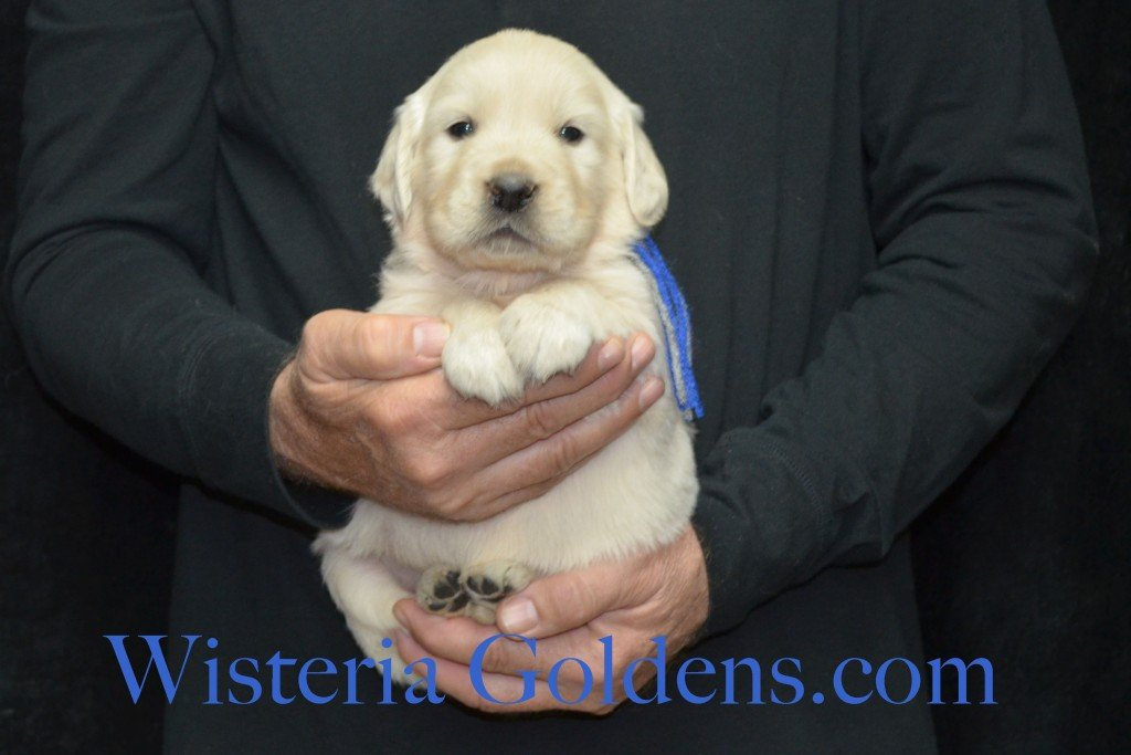 Halo Litter Blue Boy - 5.8 lbs - 4 Weeks pictures Halo-Ego Litter born 10/26/2015 English Cream Golden Retriever Puppies for sale at WisteriaGoldens.Com