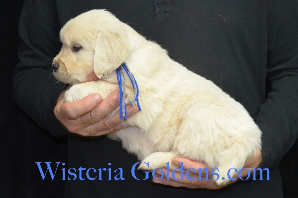 Halo LItter Blue Boy - 7.4 lbs 5 Week pictures Halo/Ego Litter born 10/26/2015 3 girls and 8 boys English Cream Golden Retriever Puppies for sale at WisteriaGoldens.Com
