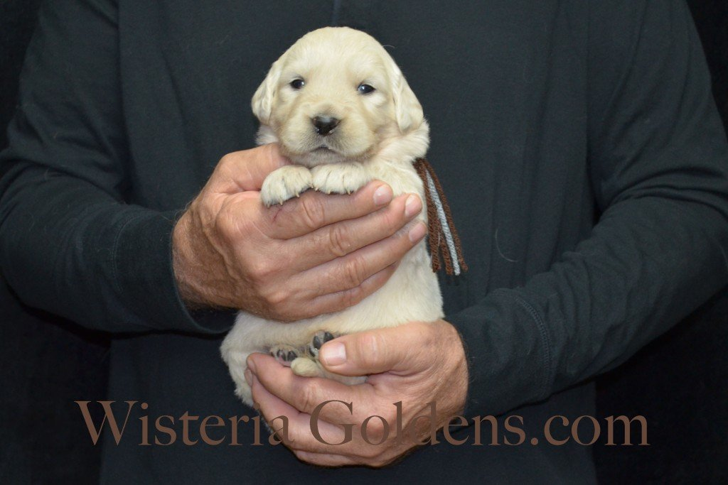 Halo Litter Brown Boy - 3.8 lbs Halo-Ego Litter Born 10/26/2015 3 girls and 8 boys 3 Weeks Pictures WisteriaGoldens.com English Cream Golden Retriever puppies and their availability