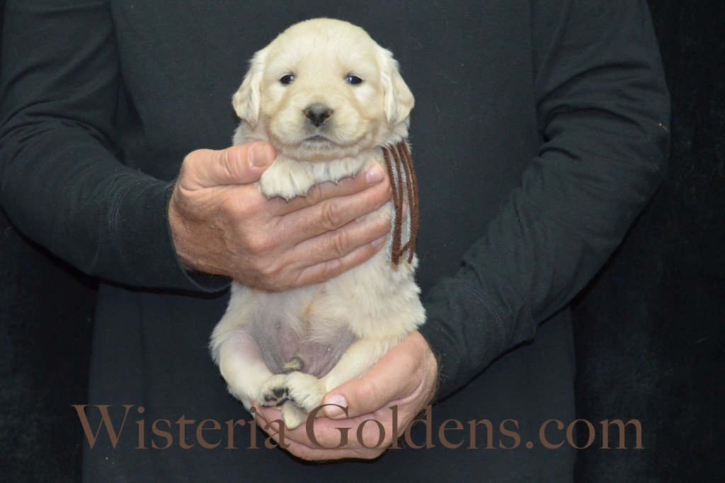 Halo Litter Brown Boy - 5.2 lbs - 4 Weeks pictures Halo-Ego Litter born 10/26/2015 English Cream Golden Retriever Puppies for sale at WisteriaGoldens.Com