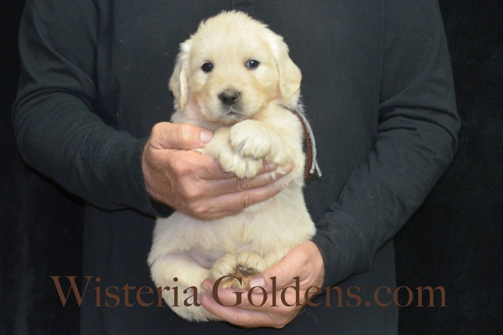 Halo LItter Brown Boy - 7.0 lbs 5 Week pictures Halo/Ego Litter born 10/26/2015 3 girls and 8 boys English Cream Golden Retriever Puppies for sale at WisteriaGoldens.Com