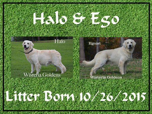 Halo/Ego Litter Born 10/26/2015 3 girls and 8 boys Ready for new homes 12/21 English Cream Golden Retriever puppies for sale